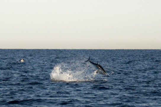 Tuna jumping 2 1/2 miles from Gurnet
