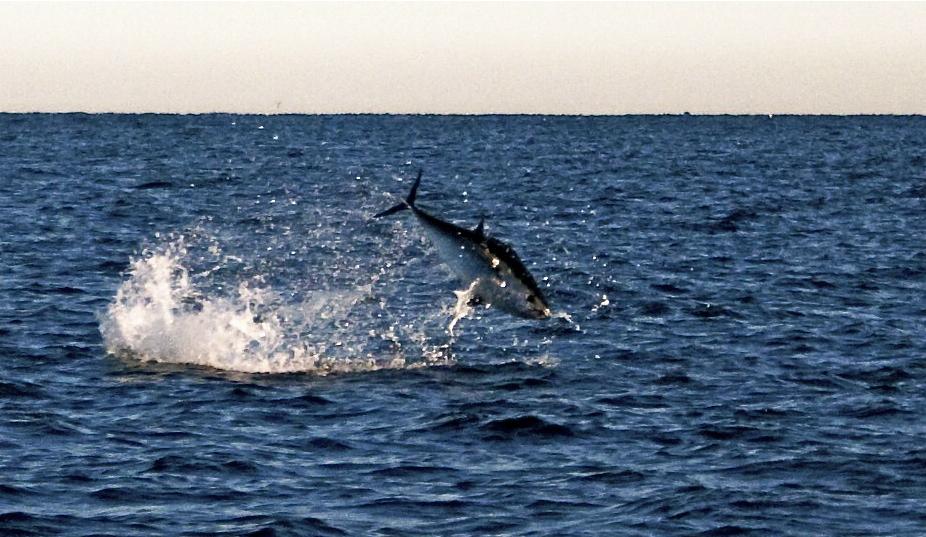 Tuna jumping high hook bloghigh hook blog for Tuna fishing season