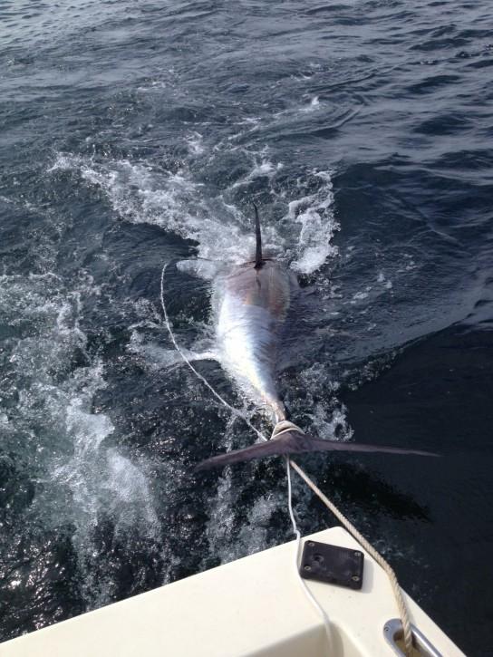 90 inch Tuna being dragged.
